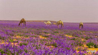 Photo of المملكة تختار اللون البنفسجي لوناً لسجاد مراسم استقبال ضيوفها وزائريها