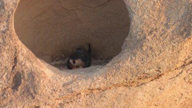 "Photo of ""برنامج هدد"" ينجح في إعادة إحياء 28 ماكر نتج عنه 60 فرخا من الصقور في المملكة"